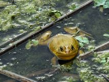 Amerykański Bullfrog Lithobates Catesbeianus Zdjęcia Royalty Free