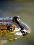 Amerykański Bullfrog profil Zdjęcie Royalty Free