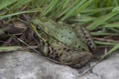Amerykański Bullfrog w trawie Zdjęcia Royalty Free