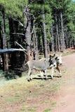 amerykański burro Zdjęcie Royalty Free