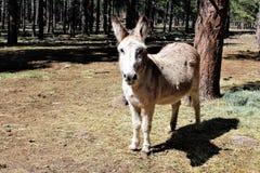 amerykański burro Fotografia Royalty Free