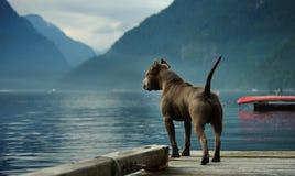 amerykański byka psa jamy terier Obrazy Royalty Free