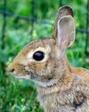 amerykański cottontail królik. Fotografia Royalty Free