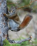 Amerykański czerwonej wiewiórki mienie na drzewie Obrazy Royalty Free
