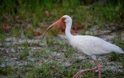 amerykański ibisa white Zdjęcia Royalty Free