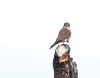 amerykański kestrel Fotografia Royalty Free