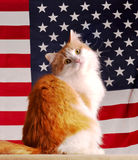 amerykański kot Obrazy Stock