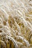 Amerykański kraju gospodarstwa rolnego Pszenicznego pola biznes Obrazy Stock