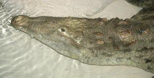 amerykański krokodyl Zdjęcia Stock