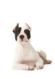 Amerykański pitbull teriera szczeniak Zdjęcie Royalty Free