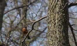 Amerykański rudzik Zdjęcie Stock
