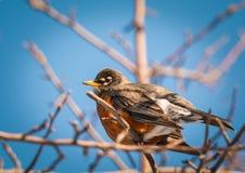 Amerykański rudzik - Turdus migratorius Zdjęcie Stock