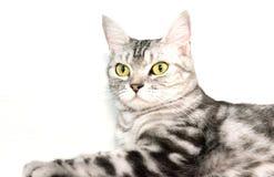 Amerykański shorthair kot siedzi Zdjęcia Stock