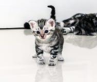 Amerykański shorthair matki kot breastfeeding Obrazy Royalty Free