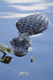 Amerykańskiego aligatora aligatora mississippiensis Fotografia Stock