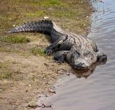 Amerykańskiego aligatora aligatora mississippiensis na brzeg rzeki zdjęcie stock