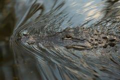 Amerykańskiego aligatora zalewiska bagno Zdjęcia Stock