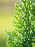 amerykańskiego arborvitae cyprysowy drzewo Fotografia Stock
