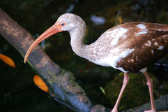 amerykańskiego ibisa niewyrobiony biel Obrazy Stock