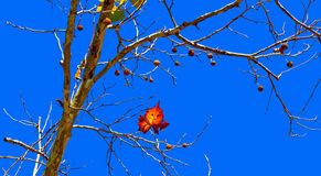 Amerykańskiego jaworu drzewo Obrazy Stock