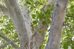 Amerykańskiego jaworu drzewo Zdjęcia Stock