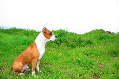 amerykańskiego Staffordshire terier Zdjęcie Stock