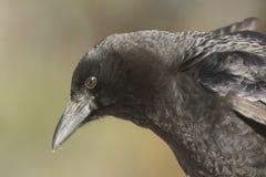 Amerykańskiej wrony Corvus brachyrhynchos Obrazy Royalty Free