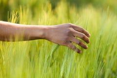 Amerykanin Afrykańskiego Pochodzenia ręka w pszenicznym polu Fotografia Royalty Free
