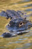 amerykanin aligatora Zdjęcie Royalty Free