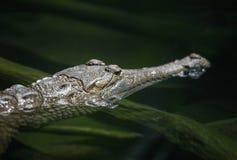 amerykanin aligatora obraz royalty free