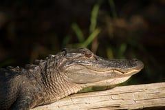 amerykanin aligatora Zdjęcia Royalty Free