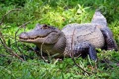 amerykanin aligatora Obrazy Stock