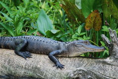 amerykanin aligatora Fotografia Stock