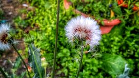 Amerykanin burnweed Asteraceae obraz stock