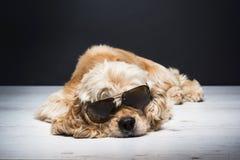 Amerykanin Cocker spaniel Z okularami przeciwsłonecznymi Zdjęcia Royalty Free