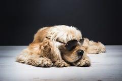 Amerykanin Cocker spaniel Z okularami przeciwsłonecznymi Obrazy Royalty Free