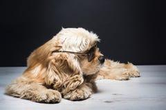 Amerykanin Cocker spaniel Z okularami przeciwsłonecznymi Obraz Royalty Free