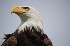 Amerykanin Eagle Obrazy Stock