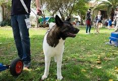 Amerykanina Akita Inu pies na zielonej łące zdjęcie stock