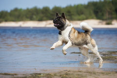 Amerykanina Akita pies na plaży Obraz Royalty Free
