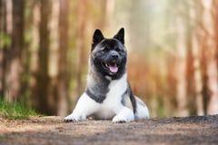 Amerykanina Akita pies pozuje w lesie Zdjęcie Stock