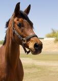 Amerykanina Brown wałacha Spłodzony koń obrazy royalty free