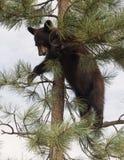 amerykanina lisiątko niedźwiadkowy czarny Zdjęcia Royalty Free