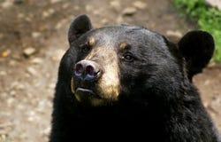 amerykanina niedźwiadkowy czerń Obraz Royalty Free