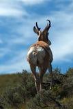 Amerykanina Pronghorn antylopa - Lenieje zatoczki Lamar Yellowstone Dolinnego parka narodowego Fotografia Royalty Free
