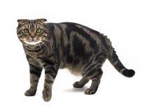 Amerykanina Shorthair mieszanki fałdu Szkocki kot Obrazy Royalty Free