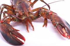 amerykanina zakończenia przodu żywy homar żywy Obraz Stock