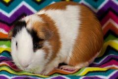 Amerykańscy króliki doświadczalni (Cavia porcellus) Fotografia Stock