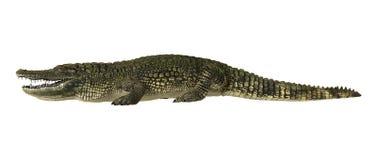 Amerykański Aligator Obrazy Royalty Free