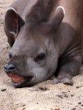 amerykański południowy tapir Zdjęcia Stock